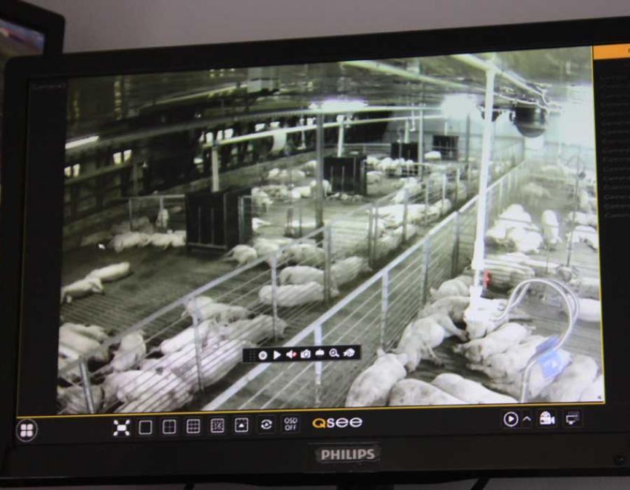 supraveghere video ferma porci